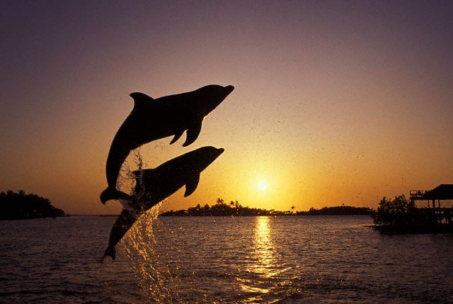 Two bottlenosed dolphins leap out of the water at Roatan Island in Honduras. 2000 Roatan, Honduras