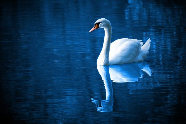 peaceful swan swimming