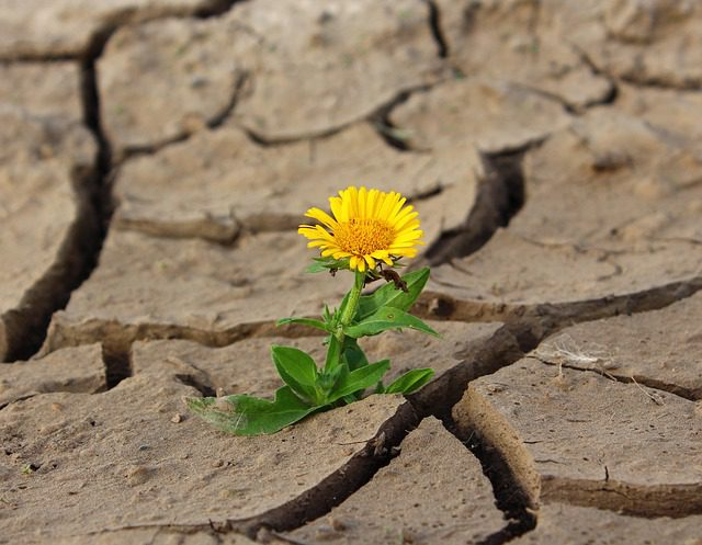 dandelion growing in dry earth with huge cracks in it