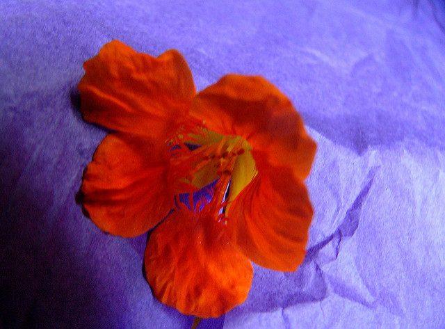 A red-orange nasturtium on a cornflower-blue tissue paper background.