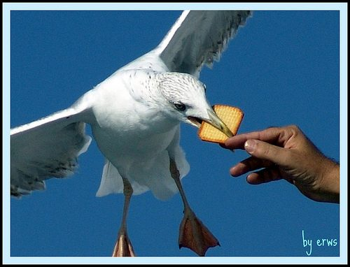 Seagull taking a cracker from a human hand