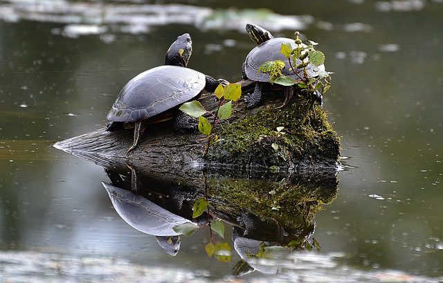 two turtles on a rock in a pond with their reflection