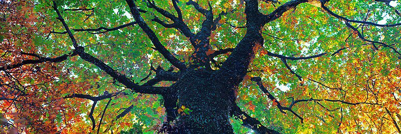 A view looking up into the branches of a big tree whose colorful leaves are changing for Fall.